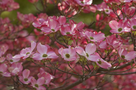dogwood: Flowering Dogwood (Cornus florida). Called American Dogwood and Eastern Dogwood also. Symbol of North Carolina, West Virginia, Missouri and Virginia Stock Photo