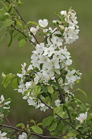 crab apple tree: Manchurian crab apple (Malus mandshurica)