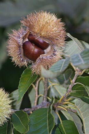 fagaceae: American chestnut nuts (Castanea dentata) Stock Photo