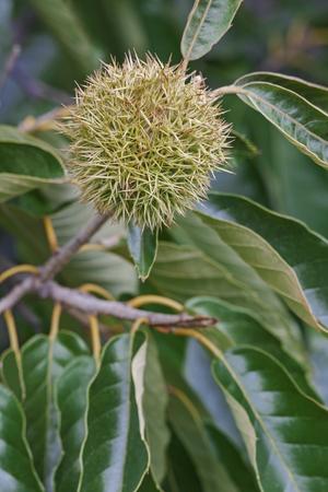 fagaceae: American chestnut fruit (Castanea dentata) Stock Photo
