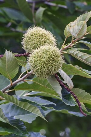 fagaceae: American chestnut fruits (Castanea dentata)