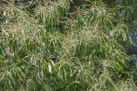 fagaceae: American chestnut (Castanea dentata)
