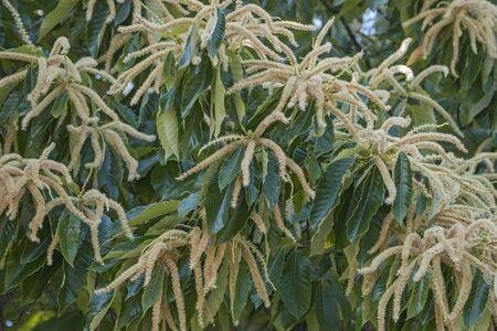 fagaceae: American chestnut male flowers (Castanea dentata) Stock Photo