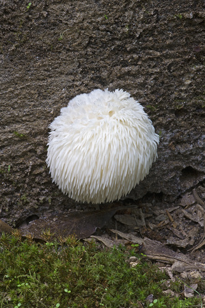 Lion's mane mushroom (Hericium erinaceus). Called Bearded tooth mushroom, Satyr's beard, Bearded hedgehog mushroom, pom pom mushroom and Bearded tooth fungus also