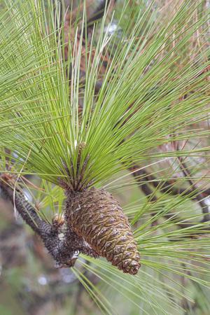 pinaceae: Longleaf pine (Pinus palustris). Called Southern Yellow Pine also