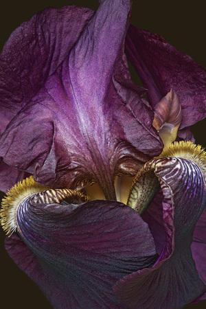 하이브리드 독일어 홍채 (Iris x germanica)