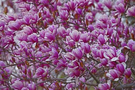 magnolia soulangeana: Saucer magnolia (Magnolia x soulangeana). Hybrid between Magnolia denudata and Magnolia liliiflora. Called Chinese Magnolia and Tulip Magnolia also