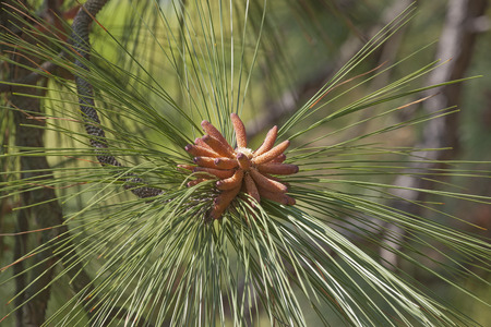 pinaceae: Longleaf pine (Pinus palustris). Called Southern Yellow Pine also