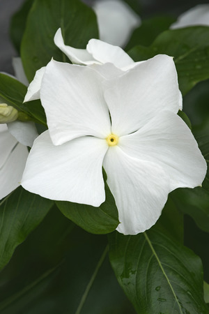 Madagascar periwinkle (Catharanthus roseus). Called Rosy periwinkle and Vinca also 版權商用圖片 - 66364891