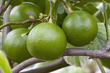 Bergamot orange (Citrus bergamia). Hybrid of Citrus limetta and Citrus aurantium probably