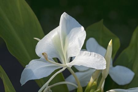 coronarium: White ginger lily (Hedychium coronarium). Called White garland-lily also Stock Photo