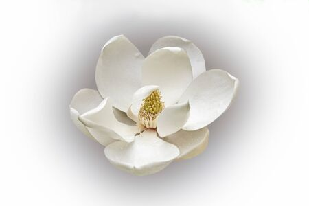 Southern magnolia (Magnolia grandiflora). Called  Evegreen Magnolia, Bull Bay, Bullbay agnolia, Laurel Magnolia and Loblolly Magnolia also. Image of flower isolated on white background Stock Photo