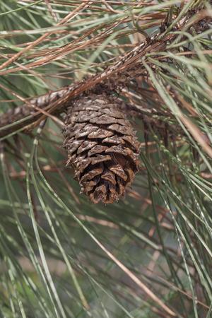 ponderosa pine: Ponderosa pine cone (Pinus ponderosa). Called Bull Pine, Blackjack Pine and Western Yellow Pine also