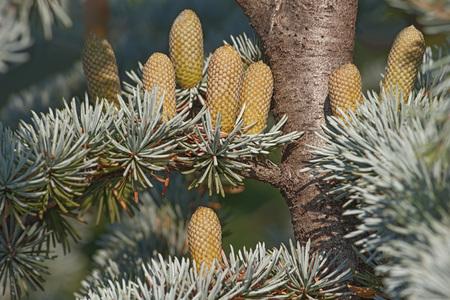 libani: Atlas cedar (Cedrus atlantica). Another scientific name is Cedrus libani atlantica. Pollen cones Stock Photo