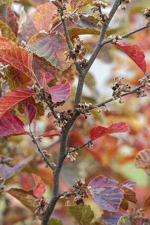 Amethyst witch hazel (Hamamelis x intermedia Amethyst). Twigs with fruits