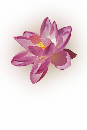 nucifera: Sacred lotus (Nelumbo nucifera). Called Indian Lotus, Bean of India and Lotus also. Image of flower isolated on white background