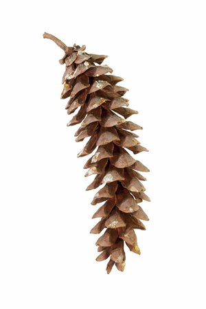 Eastern white pine (Pinus strobus). Called White Pine and Weymouth Pine also. Image of cone isolated on white background