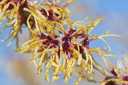Chris witch hazel (Hamamelis x intermedia Chris