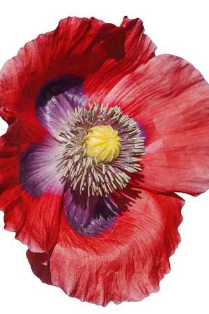 Opium poppy (Papaver somniferum). Called Garden poppy also. Another scientific name is Papaver paeoniflorum. Image of flower isolated on white background Stock Photo