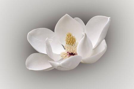 Southern magnolia (Magnolia grandiflora). Called  Evegreen Magnolia, Bull Bay, Bullbay agnolia, Laurel Magnolia and Loblolly Magnolia also. Modified image of flower Stock Photo