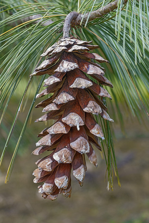 pinaceae: Bhutan pine cone (Pinus wallichiana). Called Blue Pine, Himalayan Pine and Himalayan White Pine also. Another scientific names are Pinus griffithii and Pinus chylla.