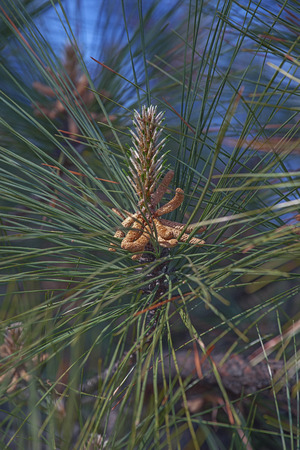 pinaceae: Loblolly pine (Pinus taeda). Called Bull Pine and Old-field Pine also. Pollen cones Stock Photo