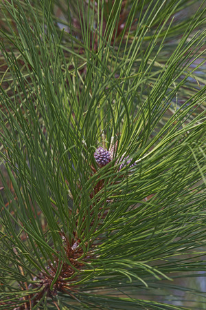 pinaceae: Ponderosa pine (Pinus ponderosa). Called Bull Pine, Blackjack Pine and Western Yellow Pine also. Twig with young cones