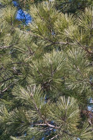 ponderosa pine: Ponderosa pine (Pinus ponderosa). Called Bull Pine, Blackjack Pine and Western Yellow Pine also