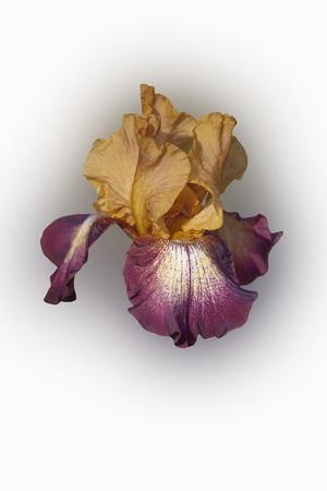 Hybrid German iris (Iris x germanica). Image of flower isolated on white background Stock Photo