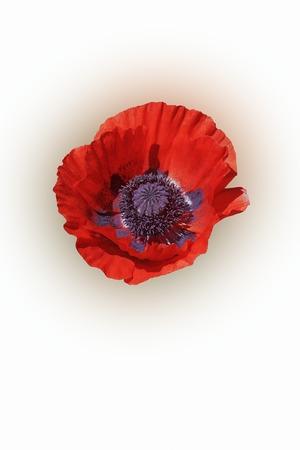 oriental poppy: Oriental poppy (Papaver orientale). Image of flower isolated on white background