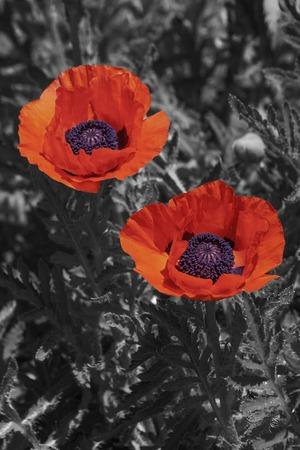oriental poppy: Oriental poppy flowers (Papaver orientale). Modified image of flowers