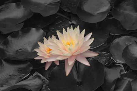Hybrid water lily (Nymphaea x hybrid). Modified image of flower