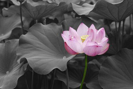nucifera: Sacred lotus (Nelumbo nucifera). Called Indian Lotus, Bean of India and Lotus also. Modified image of flower