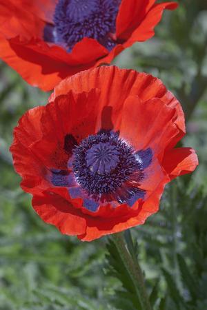oriental poppy: Oriental poppy flowers (Papaver orientale) Stock Photo