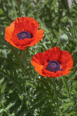 Oriental poppy flowers (Papaver orientale) Stock Photo