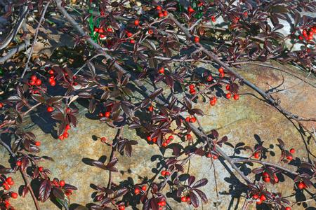 Scarlet Leader Willowleaf cotoneaster (Cotoneaster salicifolius Scarlet Leader)