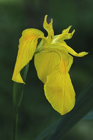 Yellow flag iris (Iris pseudacorus). Called Yellow iris, Water flag, Paleyellow iris and Lever also