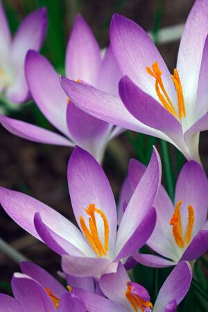Woodland crocus (Crocus tomassinianus). Called Early crocus, Tommasinis crocus and Tommies also