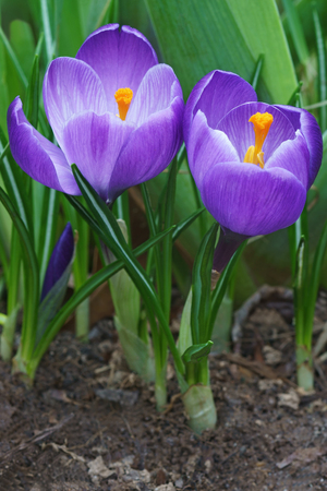 Spring crocus (Crocus vernus). Called Giant crocus also