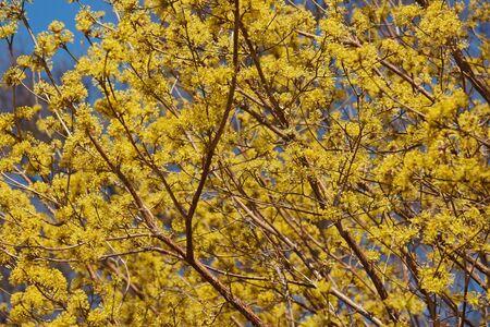 Spring Glow Cornelian cherry dogwood (Cornus mas Spring Glow)