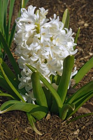 Common hyacinthus (Hyacinthus orientalis). Called Garden Hyacinth and Dutch Hyacinth also Banco de Imagens