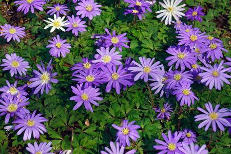 windflower: Blue shades Grecian windflower (Anemone blanda Blue Shades). Called Balkan anemone, Grecian windflower and Winter windflower also