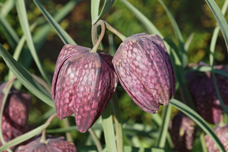 lazarus: Snakes head fritillary (Fritillaria meleagris). Called Chess flower, Frog-cup, Guinea-hen flower, Guinea flower, Leper lily, Lazarus bell, Chequered lily, Chequered daffodil and Drooping tulip also Stock Photo