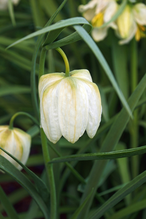 Snakes head fritillary (Fritillaria meleagris). Called Chess flower, Frog-cup, Guinea-hen flower, Guinea flower, Leper lily, Lazarus bell, Chequered lily, Chequered daffodil and Drooping tulip also Stock Photo