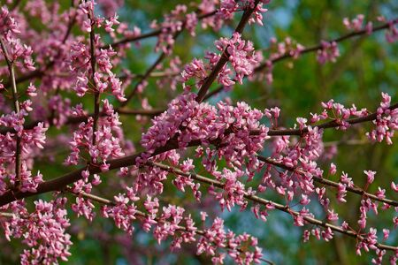 Eastern redbud (Cercis canadensis). State tree of Oklahoma