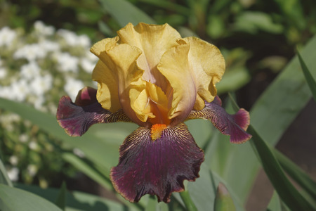 Devils Riot Tall Bearded iris (Iris x germanica Devils Riot)
