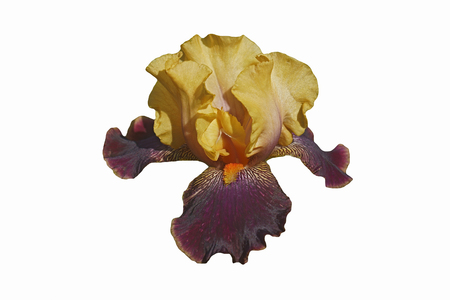 devils garden: Devils Riot Tall Bearded iris (Iris x germanica Devils Riot). Image of flower isolated on white background Stock Photo