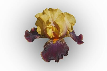 Devils Riot Tall Bearded iris (Iris x germanica Devils Riot). Image of flower isolated on white background Stock Photo