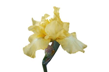 Summer Olympics Tall Bearded iris (Iris x germanica Summer Olympic). Image of flower isolated on white background
