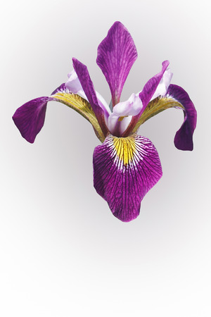 versicolor: John Wood Blue Flag iris (Iris versicolor John Wood). Called Dagger flower, Water iris and Liver lily also. Image of flower isolated on white background